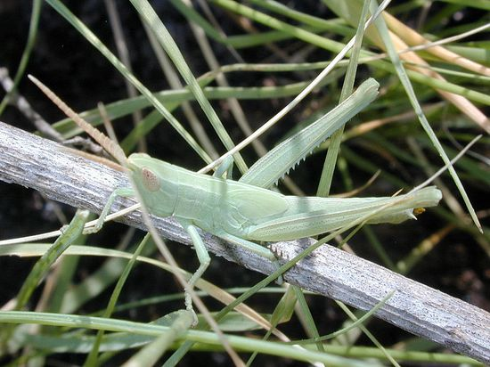 800px-Grasshopper_(27)