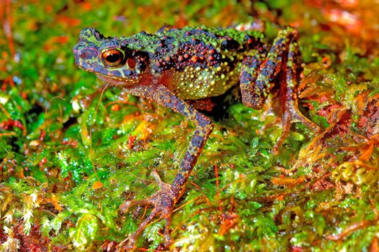 Borneo-rainbow-toad-conservation-international