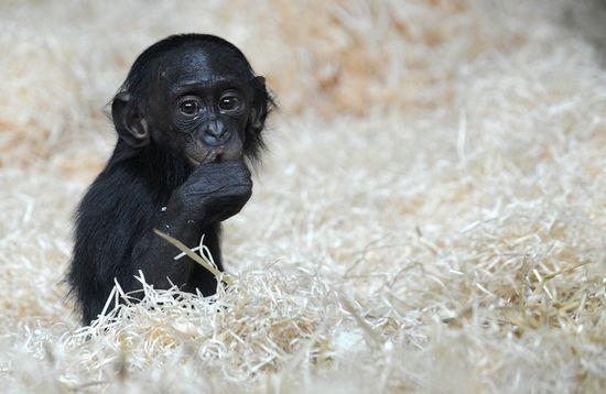 Bonobo_Photo