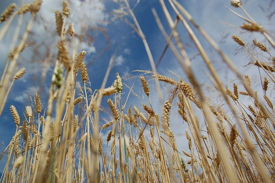800px-Wheat_blue_sky2