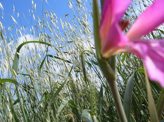 Flowerwheat