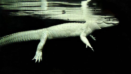 800px-Albino_Alligator_in_Water