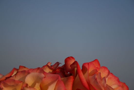 Roseedge