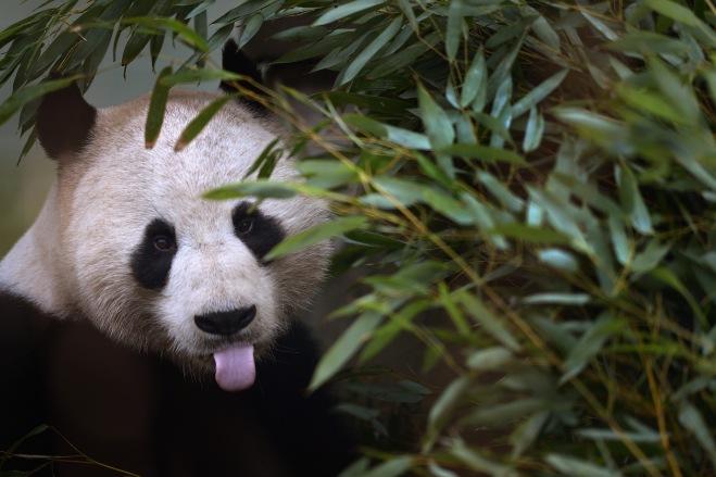Yang Guang The Male Panda At Edinburgh Zoo Feeding In His Enclosure Before The Breeding Season Begins