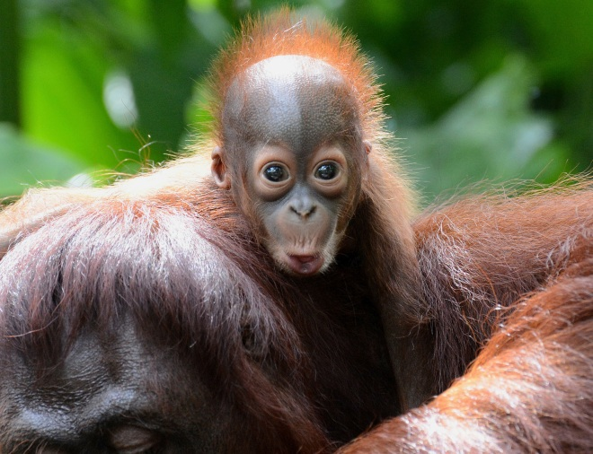 CORRECTION-SINGAPORE-ANIMAL-ORANGUTAN