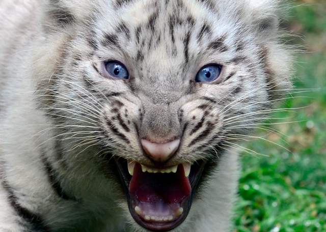 ARGENTINA-ANIMALS-TIGER-ZOO
