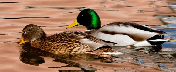 Mallard Drake & Hen, no watermark
