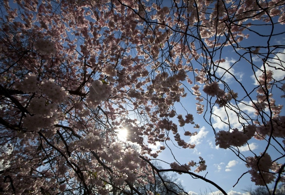 A cherry blossom tree is pictured in the
