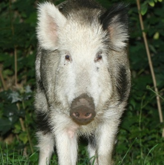 Wild Pigs A Growing Problem In Berlin