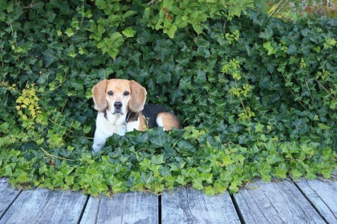 Dusty in ivy
