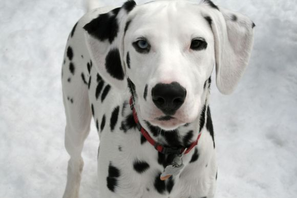 Dalmatian_puppy_black_Orion