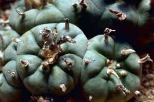 1024px-Peyote_Cactus