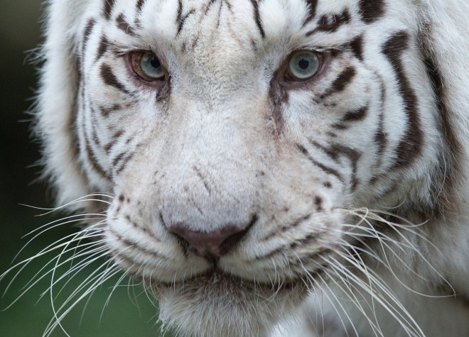 SLOVAKIA-ZOO-ANIMALS-WHITE TIGER