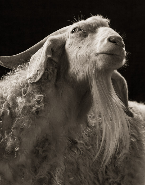 dish_goat