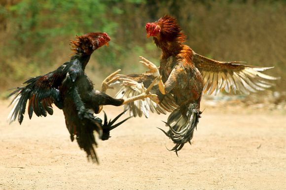 dish_cockfighting