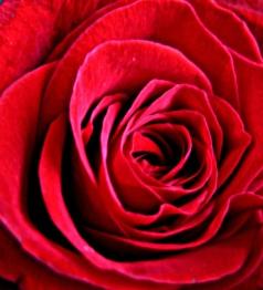 dish_rosepetals