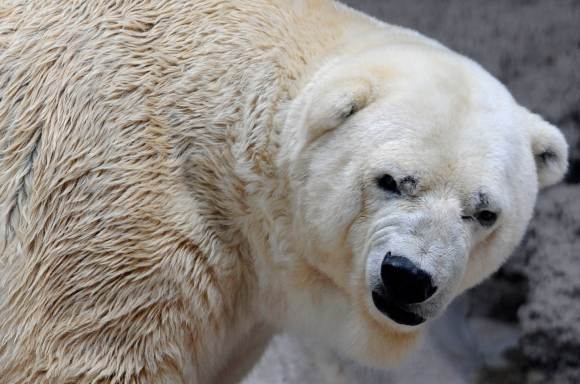 ARGENTINA-CANADA-ANIMALS-POLAR BEAR-ZOO