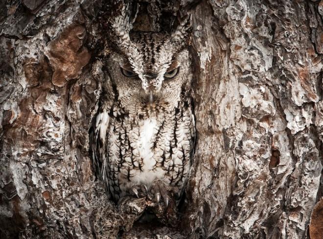 dish_owl