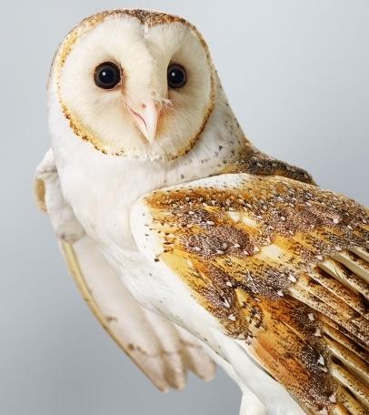 Ivy-Barn-Owl-406x524